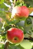 Due mele su una filiale Fotografia Stock