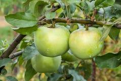 Due mele verdi con le gocce di pioggia Fotografie Stock Libere da Diritti