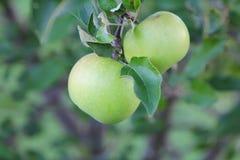 Due mele verdi mature che pendono dall'albero immagini stock libere da diritti