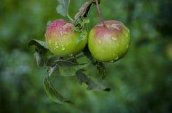 Due mele verdi rosse succose che appendono su un ramo di albero nel giardino con le foglie coperte di gocce di acqua dopo pioggia Fotografia Stock