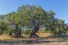 Due molto vecchi di olivo Fotografia Stock