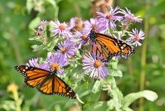 Due monarchi maschii sugli aster di Nuova Inghilterra in fiore Fotografia Stock Libera da Diritti