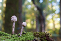 Due moushrooms Fotografie Stock