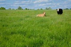 Due mucche immagine stock libera da diritti