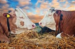 Due mucche fotografie stock