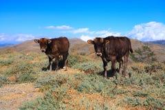Due mucche Fotografia Stock Libera da Diritti