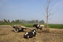 Bestiame punjabi e carrello Fotografie Stock Libere da Diritti
