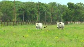 Due mucche bianche in un campo sull'erba verde stock footage