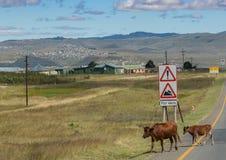 Due mucche che attraversano il N2 della strada principale alla provincia del Capo Orientale nel Sudafrica Immagini Stock Libere da Diritti
