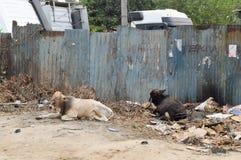 Due mucche che dormono sui rifiuti Fotografie Stock Libere da Diritti