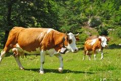 Due mucche che funzionano sulle alpi Fotografia Stock Libera da Diritti
