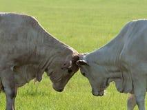 Due mucche che headbutting uno un altro fotografia stock