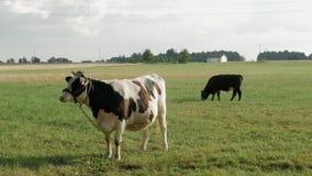 Due mucche che pascono pacificamente in un campo archivi video