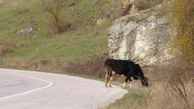 Due mucche che pascono vicino alla strada archivi video