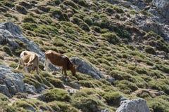 Due mucche che vagano liberamente sul prato della montagna Fotografie Stock Libere da Diritti