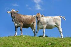 Due mucche contro cielo blu Immagine Stock Libera da Diritti