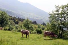 Due mucche da un lato della montagna Fotografie Stock