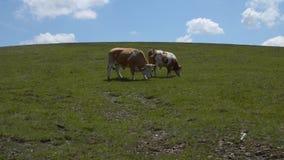 Due mucche di pascolo stock footage