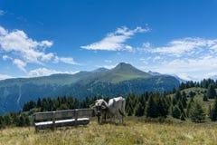 Due mucche e fare un giro turistico bench su un picco nelle alpi della Svizzera Immagini Stock Libere da Diritti
