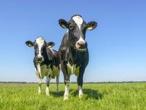 Due mucche, Holstein frisone, in un pascolo sotto un cielo blu immagine stock libera da diritti