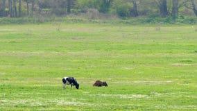 Due mucche mangiano l'erba verde sul campo dalla foresta archivi video