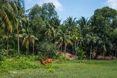 Due mucche in Mui Ne, Vietnam Immagini Stock