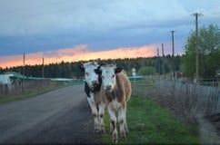 Due mucche nel villaggio fotografia stock