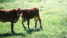 Due mucche sono mangiano l'erba in un campo archivi video
