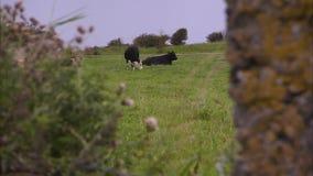 Due mucche su un campo archivi video