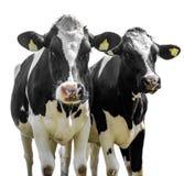 Due mucche su un fondo bianco fotografia stock libera da diritti