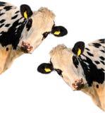 Due mucche su un fondo bianco fotografie stock libere da diritti