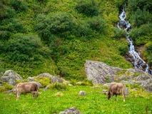 Due mucche sulla montagna pascolano nelle alpi della Svizzera Fotografia Stock