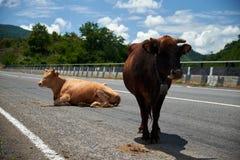 Due mucche sulla strada Fotografia Stock Libera da Diritti