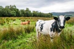 Due mucche in un campo fotografia stock libera da diritti