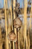 Due nidi pregare del mantide, uno che affrontano in avanti ed un altro lateralmente Fotografia Stock