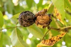 Due noci mature sull'albero appena prima la caduta davanti al fondo vago Immagini Stock Libere da Diritti