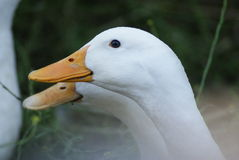 Due oche bianche di Embden nel profilo Fotografia Stock Libera da Diritti