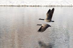 Due oche del Canada che prendono al volo da un lago winter Fotografie Stock