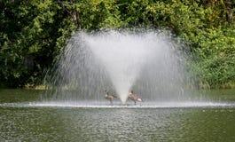 Due oche del Canada sotto una fontana Fotografia Stock Libera da Diritti