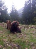 Due orsi bruni in natura Fotografia Stock