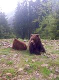 Due orsi bruni in natura Immagine Stock Libera da Diritti