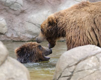 Due orsi che giocano in un'acqua fotografie stock libere da diritti