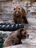 Due orsi marroni al giardino zoologico Fotografia Stock Libera da Diritti