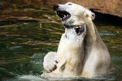 Due orsi polari allegri, bacianti Fotografia Stock Libera da Diritti
