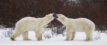 Due orsi polari che giocano a vicenda nella tundra canada Immagini Stock