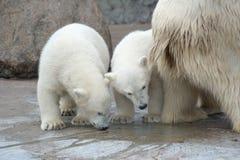 Due orsi polari inquisitori Fotografie Stock Libere da Diritti