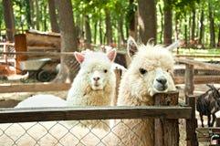 Due pacos del Vicugna dell'alpaca Immagini Stock