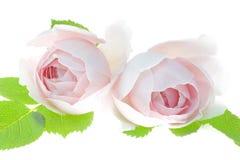 Due pallidi - primo piano dei fiori del fiore della rosa di rosa isolato su fondo bianco Fotografia Stock Libera da Diritti