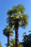 Due palme sopra il cielo blu Fotografie Stock Libere da Diritti