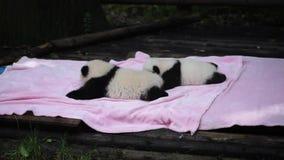Due panda neonati su una coperta rosa video d archivio